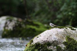 stephane-corcelle-bergeronnette-des-ruisseaux.JPG