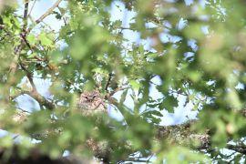 stephane-corcelle-chouette-d-athena-dans-son-arbre.JPG
