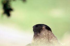 stephane-corcelle-marmotte-autour-de-Mont-Dauphin.JPG
