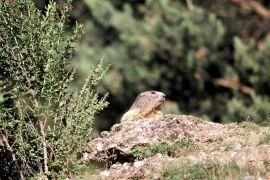 stephane-corcelle-marmotte-au-soleil-Mont-Dauphin.JPG