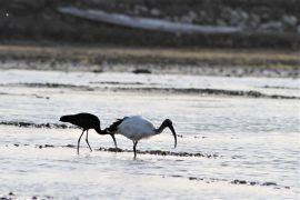 stephane-corcelle-ibis-sacre-et-falcinelle-en-fin-de-journee.JPG