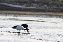 stephane-corcelle-ibis-sacre-et-falcinelle.JPG