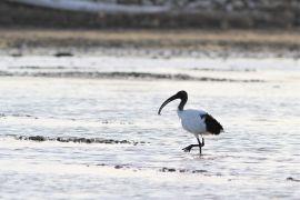 stephane-corcelle-ibis-sacre-a-la-peche.JPG