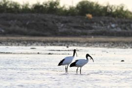 stephane-corcelle-ibis-sacre.JPG