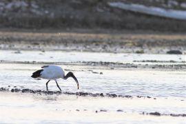 stephane-corcelle-ibis-sacre-peche-la crevette.JPG