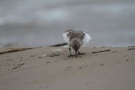 stephane-corcelle-becasseau-sanderling.JPG