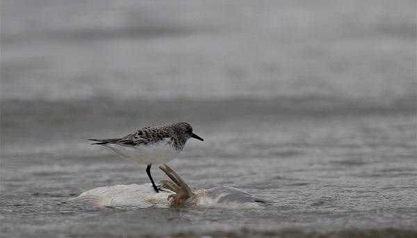 bécasseau sanderling