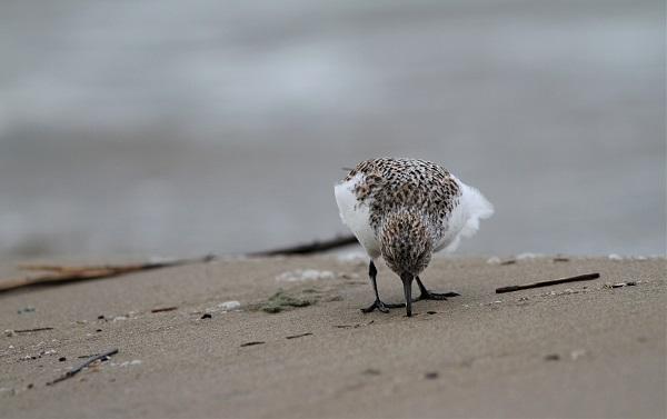 becasseau sanderling 06