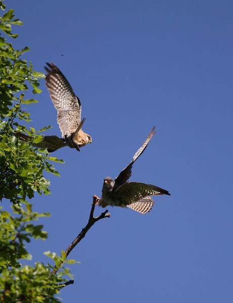 faucon kobez couple