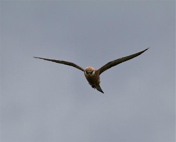 faucon kobez femelle adulte