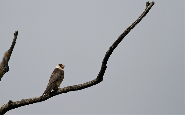 faucon kobez femelle immature