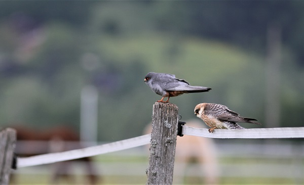 faucon kobez femelle immature et mâle adulte