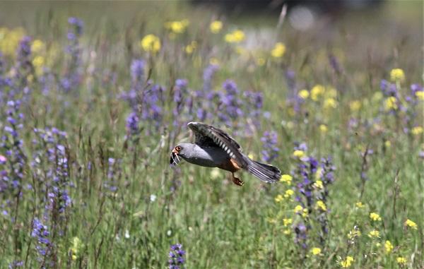 faucon kobez mâle adulte