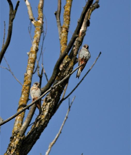 faucon kobez mâle adulte et mâle immature